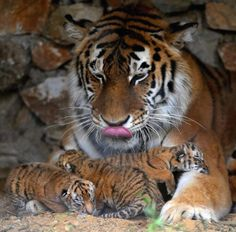 mother tiger with baby cubs