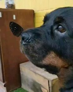Cute Funny Animals, Cute Baby Animals, Rottweiler Love, Rottweiler Puppies For Sale, Doberman Puppies, Pet Dogs, Dog Cat, Chihuahua Dogs, Cute Puppies