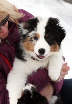Australian Shepherd puppy photo from Ninebark Aussies website.