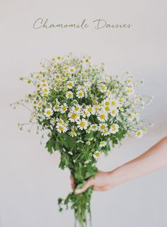 chamomile daisies - perfect for some of the table arrangements More fashion, beauty and lifestyle over at www.breakfastwithaudrey.com.au