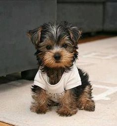 Love Little Yorkies! I have always had a Yorkshire Terrier. My last dog was 16…