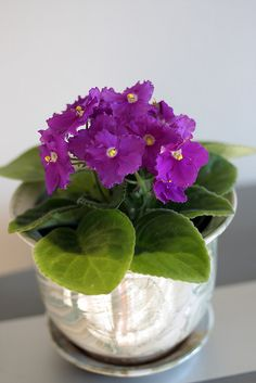 African Violet , originally uploaded by Edward Kaye . By Terri T. Johnson Growing an African violet is not difficult. Just find a sunn. Inside Plants, All Plants, Garden Plants, Roses Garden, Fruit Garden, Live Plants, Violet Plant, Saintpaulia, Outdoor Plants