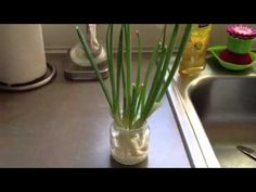 Grow your own green onions in a jar