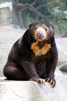 The Malayan Sun Bears Look Like Humans Wearing a Bear Costume - World's largest collection of cat memes and other animals Most Beautiful Animals, Beautiful Creatures, Malayan Sun Bear, Photo Ours, Bear Species, Spectacled Bear, American Black Bear, Moon Bear, Sloth Bear