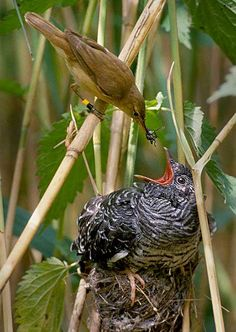 Example of Brood Parasitism : A common cuckoo being raised by a reed warbler. Note the size disparity between the large chick and the smaller adult feeding it All Birds, Colorful Birds, Fauna, Bird Species, Bird Watching, Bird Feathers, Beautiful Birds, Beautiful Creatures, Nature Photos