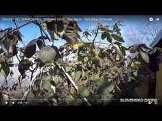 Černice - Ako strihať černice - Strihanie černíc - Rez černíc - Ostružina černicová - YouTube Fruit, Youtube, Plants, Plant, Youtubers, Youtube Movies, Planets