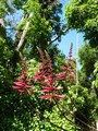 Coral Bean (erythrina herbacea) from Nearly Native Nursery - Nursery specializing in growing and selling southeastern native plants for all landscaping needs.