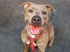 TO BE DESTROYED - 04/27/14 Manhattan Center -P  My name is BILLY. My Animal ID # is A0996599. I am a male br brindle and white pit bull mix. The shelter thinks I am about 2 YEARS   I came in the shelter as a SEIZED on 04/13/2014 from NY 10301, owner surrender reason stated was OWN ARREST.