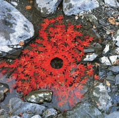 Autumn Art ~ 'Maple Leaves arrangement' by Andy Goldsworthy, this piece fully sums up what Land Art is about, nature constructing and being the work, rather than the work being placed in nature. Art Et Nature, Nature Artists, All Nature, Nature Artwork, Land Art Andy Goldsworthy, Art Sculpture, Sculptures, Art Environnemental, Ephemeral Art