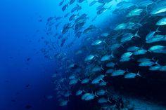 Fish go deep - School of Giant trevally caranx fish on the deeep blue ocean background