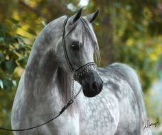 Couturier WA (Versace x Evening Intrigue) 1999 grey stallion bred by Wunderbar Arabians, Canada