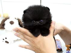 If someone ever buys me a black teacup pomeranian I will love them foreverrrr♥ Teacup Pomeranian Puppy, Black Pomeranian, Teacup Puppies, Husky Puppy, Tiny Puppies, Cute Puppies, Cute Dogs, Cute Babies, Cute Funny Animals