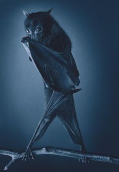 """Fruit bat by © Tim Flach 