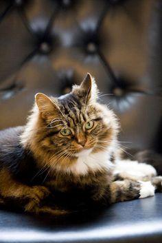 """Sneak Peek: Best of Cats. """"Patches is Queen of the castle in her home in Omaha, Nebraska."""" #sneakpeek"""