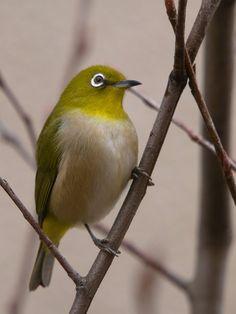 Pretty Birds, Beautiful Birds, Tiny Bird, White Eyes, Colorful Birds, Bird Watching, Bird Houses, Photo Art, Feathers