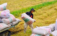 Thừa Thiên - Huế: Giá lúa giảm mạnh, nông dân gặp khó | TIN TỨC NÔNG NGHIỆP