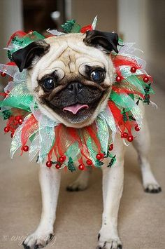 Love this pic of this pug