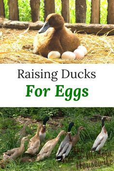 Ducks are often overlooked for their abilities to provide farm fresh eggs. Raising ducks for eggs can provide delicious eggs for eating and baking from a bird that tends to be more hardy than chickens. Backyard Ducks, Backyard Poultry, Backyard Farming, Chickens Backyard, Backyard Barn, Raising Ducks, Raising Chickens, Baby Chickens, Duck Enclosure