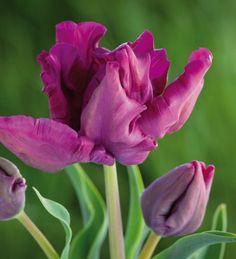 Tulip 'Muriel'