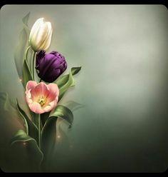 Moonbeam& Bring me Tulips (FS& [Moonbeam& Bring me Tulips (FS] : Scrap and Tubes Store, Digital Scrapbooking Supplies Flower Wallpaper, Wallpaper Backgrounds, Wallpapers, Flower Frame, Flower Art, Purple Flowering Bush, Roses Pinterest, Snow Rose, Anniversary Flowers