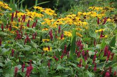 Inula & Persicaria Plant Combination Inula & Persicaria 'Plant Combination': Delivery by Crocus