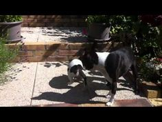 Two inseparable Boston Terrier dogs just loving being with each other. http://www.bterrier.com/video-of-two-inseparable-boston-terrier-dogs/