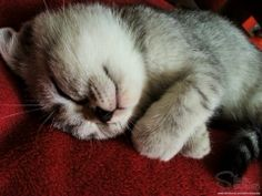 Silver Surprise - The sleeping kitteh #kitty #scottishfold https://www.facebook.com/SilverSurprise