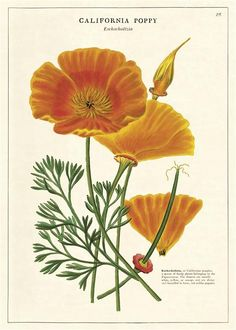 Floral Posters - California Poppy