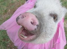 Train a piggy to dance 😊 Animal Noses, Miniature Pigs, Small Pigs, Mini Pigs, Like Animals, Training, Dance, American, Cute