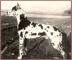 """CH Jagla Moguntia, harl, blue & fawn/brindle carrier, born 1927. The famous CH Dolf vd Saalburg (brindle) was bred to harl female """"Ute Orplid"""" - from this mating came Jagla Moguntia – harl dog. Jagla was judged the best Great Dane at the Seiger show in 1932 but the award was withheld because of the mixed color breeding. There is a parallel male harl – Bsg Kalif von der Rotburg. Kalif is also the product of a mixed color mating fawn x harlequin – however the Seiger title was not kept from Kal..."""