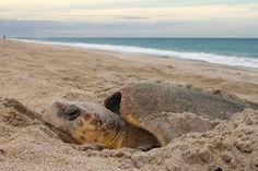 Sea Turtles Use Magnetic Fields to Find Their Birthplace Beach - The New York Times