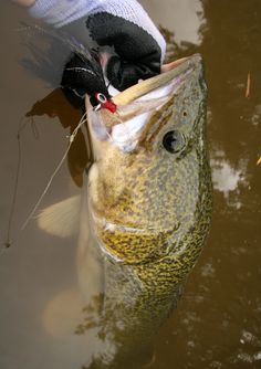 Murray Cod Best Fishing, Fishing Tips, Facts About Fish, Cod Fish, Fish Fish, Fishing Photos, Fishing Accessories, Fresh Water, Sea Shells