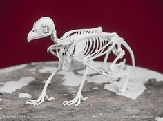 Griffin Skeleton by Brian_Richardson'