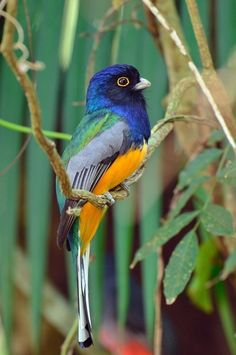 Photo Surucua Trogon (Trogon surrucura) by Luiz Ribenboim