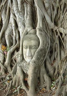 """Oh this is almost a literal interpretation of """"Plants that Rock"""". Buddha head encased in tree  Ayutthaya, Thailand."""