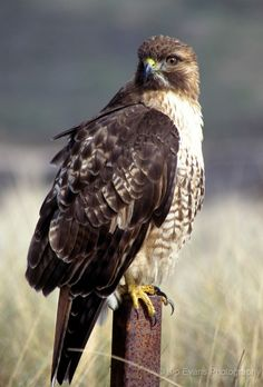 Red Tail Hawk sitting on fence post