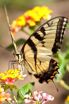 Tiger Swallowtail - Machaon ou Grand porte-queue (Papilio machaon)