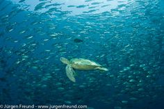 Green turtle (Chelonia mydas)  with schooling jacks (Cranax sexfasciatus). Green turtle (Chelonia mydas)  with schooling jacks (Cranax sexfasciatus).