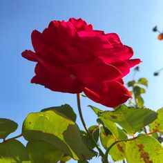 Napi virág 🌹🥀 #rose #red #october #autumn #fall #naturelovers #flowers