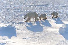 Polar Bears (Ursus maritimus) Mother with cubs Wapusk National Park - Manitoba - Canada www.daisygilardini.com