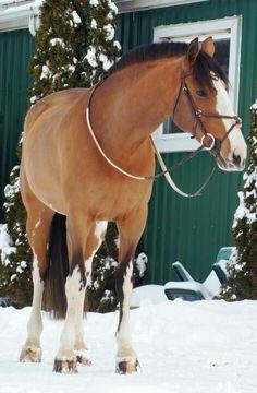 Bay Hosre, Horse in Snow HorseWasMyFirstWord.com
