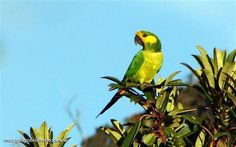 Yellow-eared Parrot (Ognorhynchus icterotis) by ColumbiaTravel
