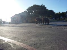 The famous donkeys of Grahamstown grazing the road. Bless them. Taken on the Corner of Somerset Street and African Street. Donkeys, Somerset, Wildlife, Corner, Country Roads, African, Street, Places, Beauty