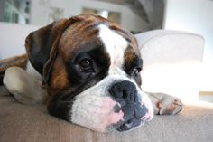 10 Things Only A Boxer Owner Would Understand