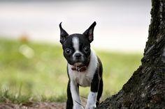 Boston terrier puppy scared