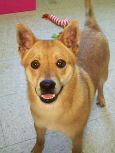 """Souris Valley Animal Shelter Minot, ND. <3  Snidely is a cute male Shiba Inu and Lab mix! He is a young adult and is only about one to two years old. Snidely is an active, busy guy and is always on the move. He is a great agility dog prospect, as he would do well with a """"job"""". Snidely loves people of all ages and is very affectionate, he always welcomes everyone with a wagging tail and big smile. He would make a great new addition to an active family!"""