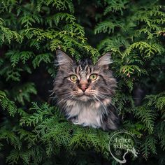 Stunning cats portrait photography Wild Animals Photography, Plants Are Friends, Outdoor Cats, Forest Cat, Feral Cats, Great Shots, Maine Coon, Cats Of Instagram, Cute Pictures