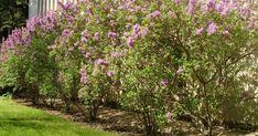 Живой изгородью называют густое насаждение садово-парковых растений в одну линию. Она одновременно ограждает частные владения и украшает территорию участка. Какие растения больше всего подходят для этих целей? Hedges, Outdoor, Plants, Yard