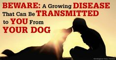 The increase in leptospirosis cases is concerning because this disease is zoonotic, which means it can be transmitted between animals and humans. http://healthypets.mercola.com/sites/healthypets/archive/2014/09/10/dog-leptospirosis.aspx