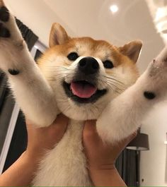 """If you feel like you're needing """"much doge"""" in your life, maybe a Shiba Inu puppy is right for you! Source by dogtime The post Shiba Inu Puppies: Cute Pictures And Facts appeared first on Franklin Dogs. Cute Dogs And Puppies, Pet Dogs, Dog Cat, Shiba Inu Puppies, Shiba Inu Doge, Doggies, Akita Inu Puppy, Yorkie Puppies, Shiba Puppy"""